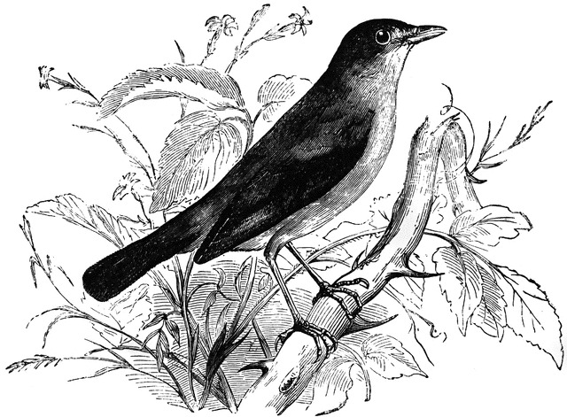 nightingale_12501_md.jpg